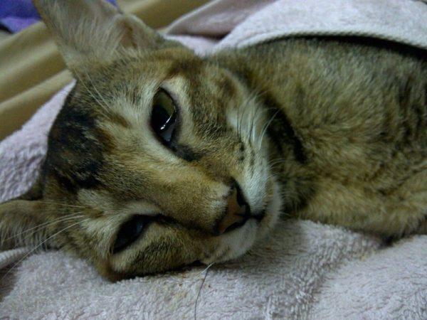 Больной кот лежит на полотенце