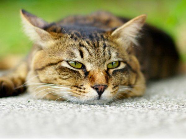 Печальный взгляд полосатого кота