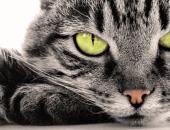 Глаза серого кота