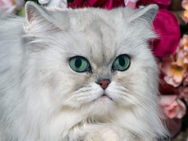 Голова персидской кошки