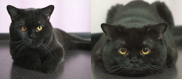 Чёрные британские кошка и кот