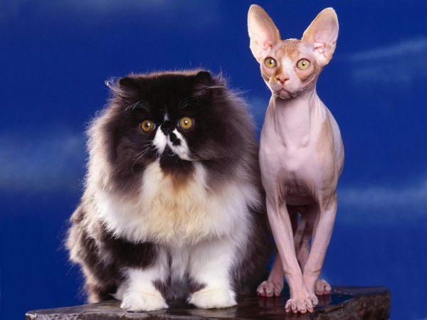 Персидская кошка и сфинкс стоят рядом