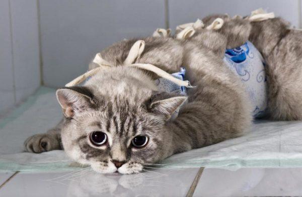 Завязанная попона на кошке