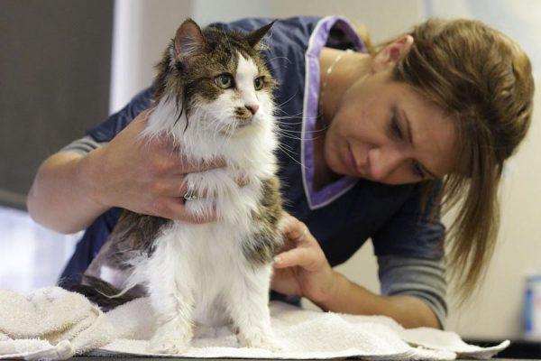 Ветеринар осматривает кота