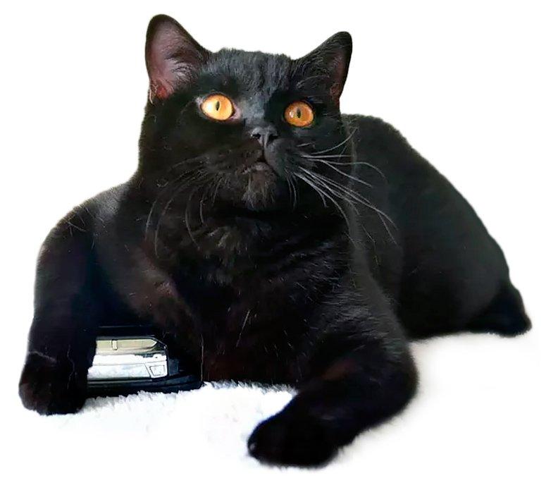 Картинка черная британская кошка
