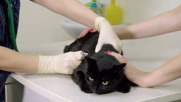 Чёрный кот в ветеринарной клинике