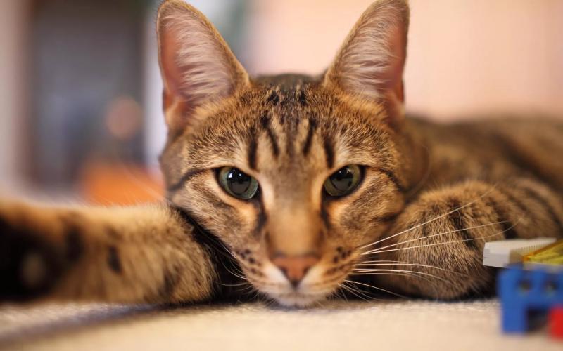 Красные десны у кошек (в том числе при гингивите): симптомы, фото покраснений вокруг зубов, диагностика и лечение в домашних условиях