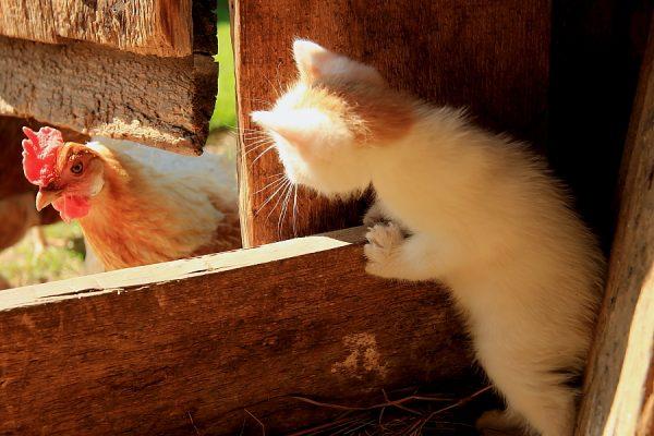 Котёнок и курица