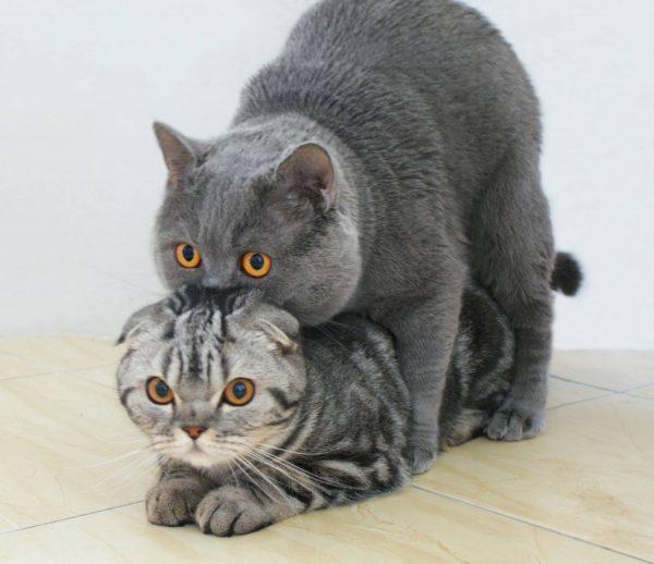 Спаривание котов