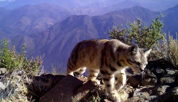 Андская кошка в горах
