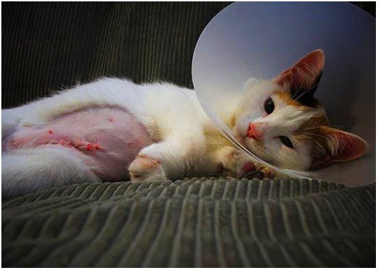 Кошка просыпается после операции