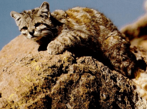 Андская кошка перед прыжком