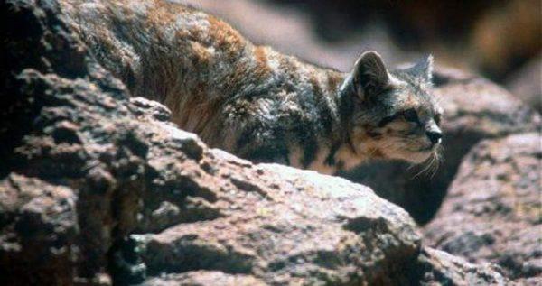 Андская кошка среди камней