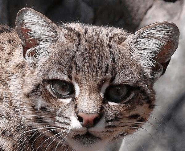 Андская кошка крупным планом