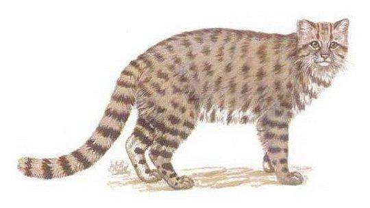Андская кошка рисунок