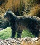 Андская кошка на горном плато