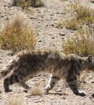 Андская кошка в пампасах