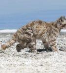 Андская кошка на берегу окена
