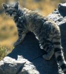 Андская кошка на скале