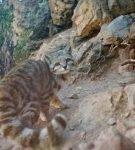 Андская кошка