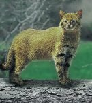 Leopardus pajeros