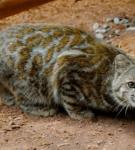 Андская кошка на глинистых залежах