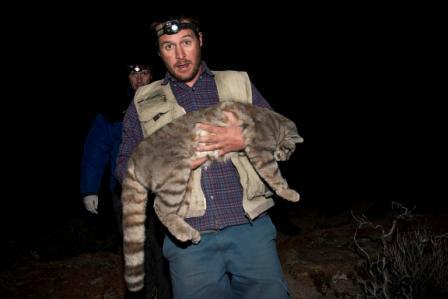Андская кошка на руках у человека