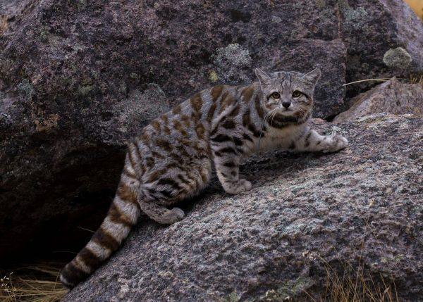 Андская кошка-подросток