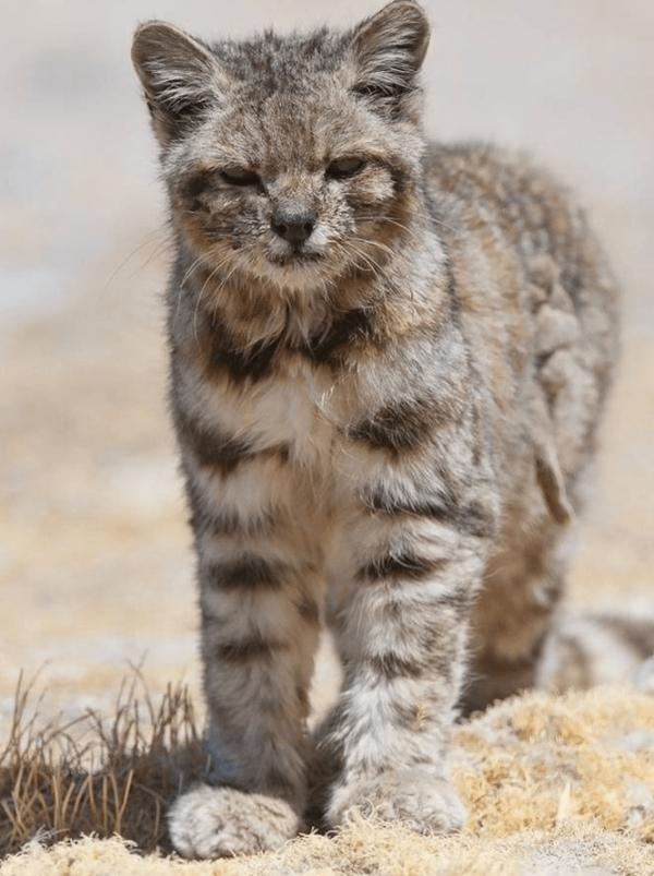 Андская кошка в полный рос