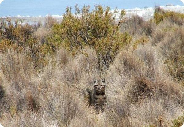 Андская кошка среди сухой травы