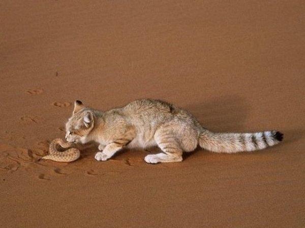 Андская кошка поймала змею