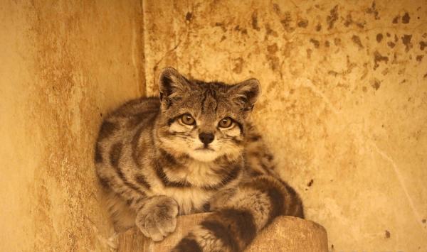 Андская кошка в неволе