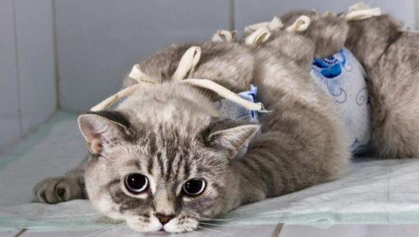 Кошка после операции