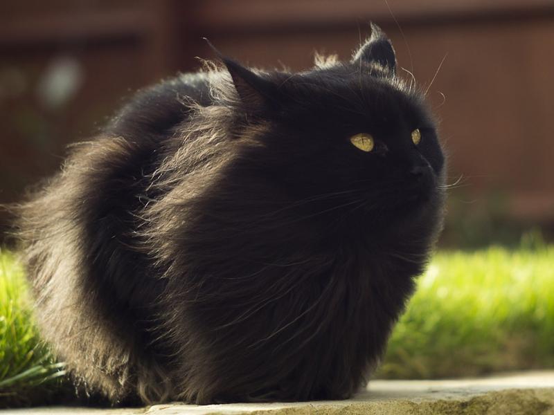 К чему снятся черные кошки женщине