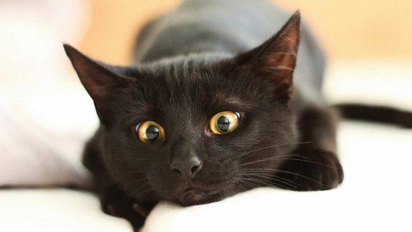 Чёрный кот лежит на белом диване и удивлённо смотрит вниз