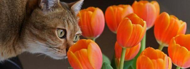 Кот нюхает тюльпаны
