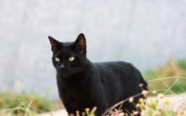 Чёрный кот стоит в траве и смотрит вперёд