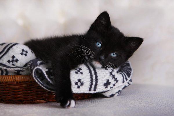 Чёрный котёнок с голубыми глазами лежит на монохромном пледе в плетёной корзинке, свесив лапу