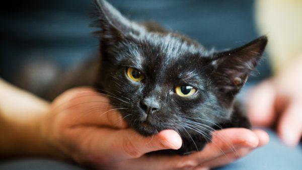 Морда чёрного котёнка в ладони мужчины