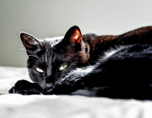 Чёрная кошка лежит под лучами света