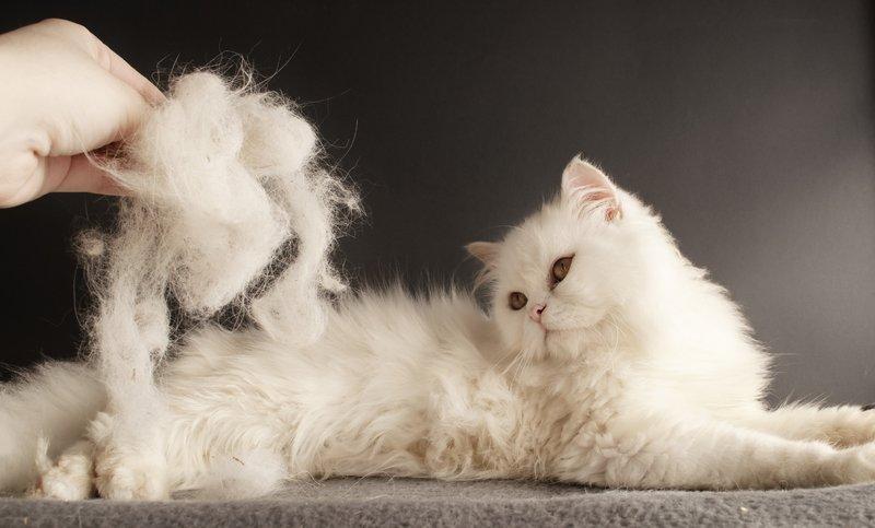 Что делать если кот сильно линяет летом. Кошка сильно линяет. Температура окружающей среды