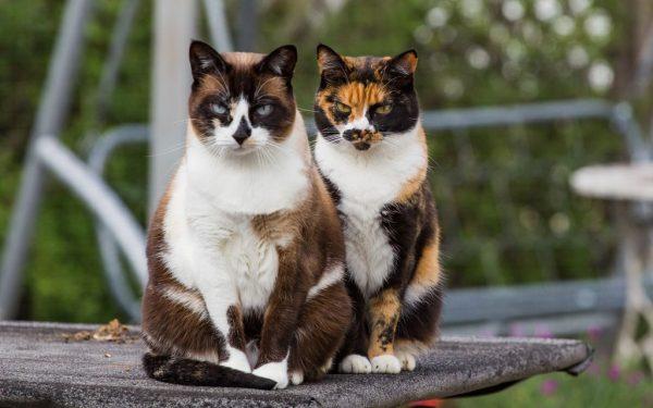 Две трёхцветные кошки