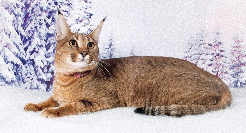 Описание и особенности поведения кошки породы каракет