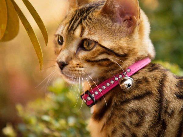 Кот в ошейнике с колокольчиком