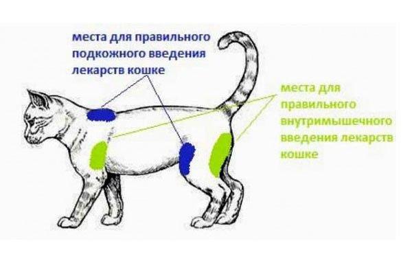 Схема областей для внутримышечных инъекций у кошек