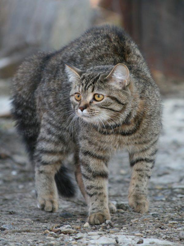 Кошка горбится при ходьбе
