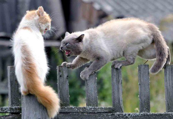 Коты дерутся на заборе