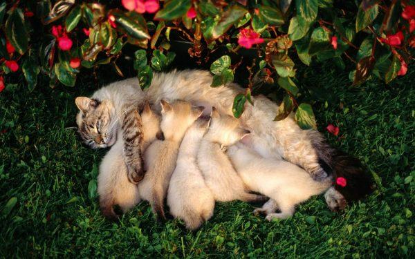Кошка кормит котят