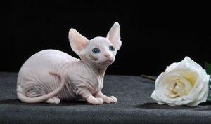 Карликовая кошка