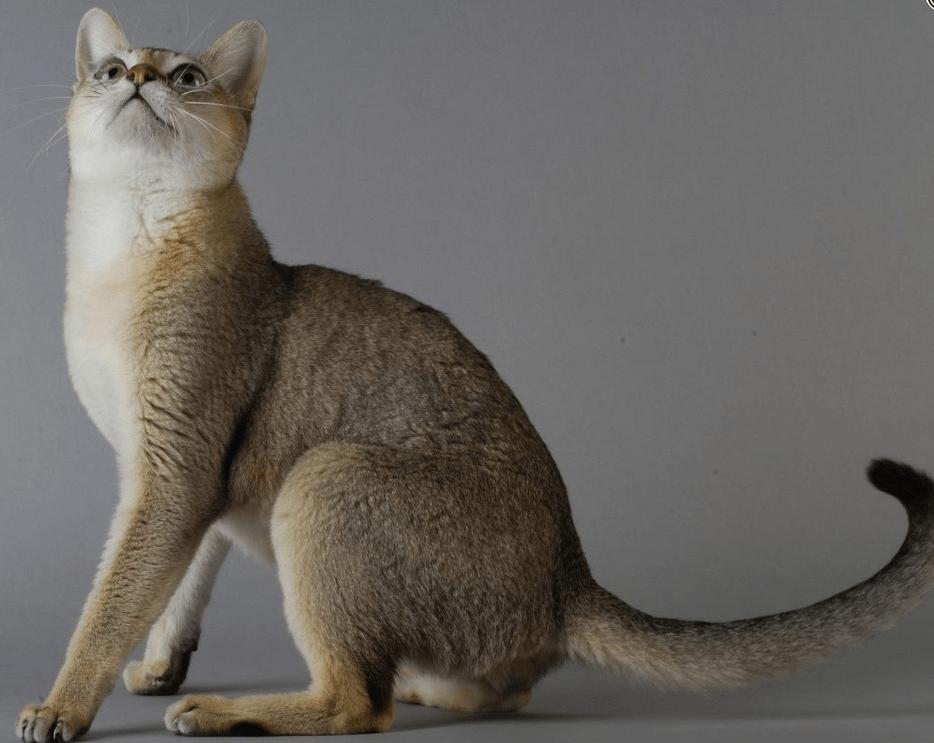 сингапурская кошка фото важно политическом